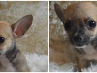 I have 2 sable male chihuahua puppies avl. first is a