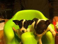 We have one little ChiaRat male black and white puppy