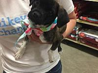 Chibi's story Meet Chibi! She is a female Pug mix who