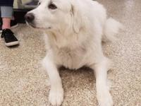 Chica is a stunningly beautiful Great Pyrenees girl not