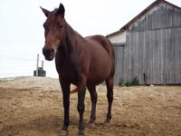 Chica is a 13hh 14 year old welsh pony cross mare.