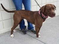 Chicago....Female Pit Bull/Mastiff, 1-1/2 years old.