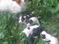 A wonderful litter of Chichipoo's for sale! All females