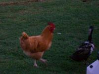 Chicken - Ernie - Large - Young - Male - Bird Ernie is