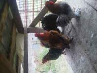 Mixed cochin roosters. Frizzled, splash, blues,