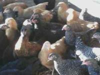 Young Checkens (hen) $6.00 each....sorry but the longer
