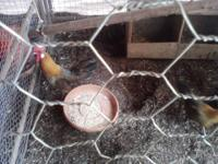 We have pairs of chickens for sale.You can call  //