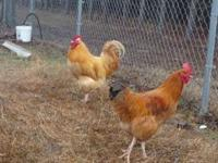 Buff Orpington Roosters and mixed roosters $10 each