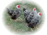 Silver Laced Wyndottes Chicks for sale. Ordered from
