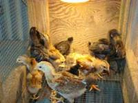 1-5 week mixed chicks 1.00 each.  Votaw 77376. Calling