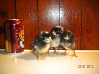 Cuckoo Maran pullets for sale at $4.00 each. They are 5