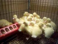 PEKIN DUCKS - $6.00 CHICKS - 3.00 RABBITS - 10.00
