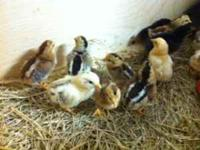Chicks for sale. $4 each. Purebred chicks, gamefowl