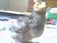 Straight run chicks ~ Polish, Silkies, Houdans,