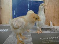 Gold Sex Link chicks. These are cross bred chicks with