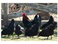 MARANS STANDARD SIZE ,BIG HEAVY MUSCLED DUAL PURPOSE,