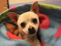.Meet Chico!  Chico is a male, 10 month old, Chihuahua.