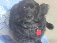 Chico is an 8 year old schipperke mix, 10-15 lbs. He