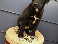 Chief's story Chief is an 8 week old mixed breed! This