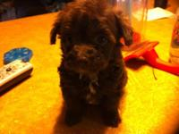 We have a couple of Chihapoo pups ready for adoption