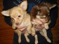 CHIHUAHUA PUPS, CKC, MALES long and short hair.