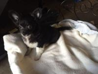 Chihuahua blue and white long hair male and one black