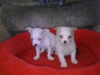 2 FEMALE APPLE HEAD SHORT COBBY LEGGS CHIHUAHUA 11 WEEK