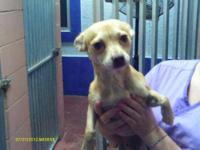Chihuahua - 51090 - Small - Adult - Male - Dog