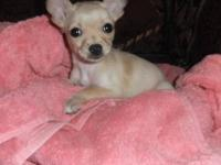 8 week old chihuahua. Dewormed AND given HW medication,