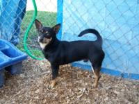Chihuahua - A099161 - Small - Adult - Male - Dog
