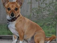 Chihuahua - A099826 - Small - Young - Male - Dog