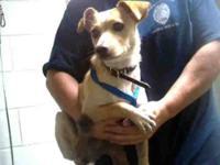 Chihuahua - A169414 - Small - Adult - Male - Dog