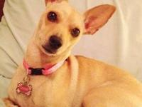 Chihuahua - A188858 - Small - Adult - Female - Dog
