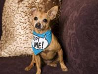 Chihuahua - A206761 - Small - Adult - Female - Dog