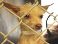 Chihuahua - A3209201 - Small - Young - Female - Dog