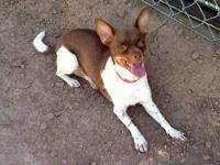 Chihuahua - A3265976 - Small - Young - Female - Dog