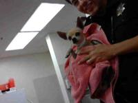 Chihuahua - A3266103 - Small - Adult - Male - Dog