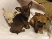 ACA registered male Chihuahua puppies Have a chocolate