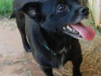 Chihuahua - Adele-pending - Small - Adult - Female -