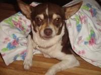 Chihuahua - Ajillia Aka Aj - Small - Adult - Female -