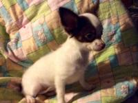 Katie is a full AKC female long hair Chihuahua. She has