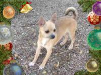 """Cowboy"" is a nice 6 months old male AKC Chihuahua pup,"