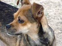 Chihuahua - Amber - Small - Adult - Female - Dog Amber