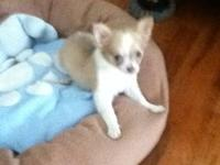 I have a 3month old longhair chihuahua for sell with