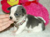 A.K.C & C.K.C Reg. Chihuahua puppies, home raised,