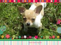 Chihuahua male d/b 4/18/13 smooth coated white/golden