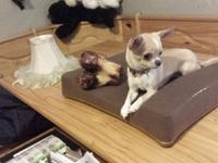 perfect female Chihuahua 1 year old 2 pounds 8 0z all
