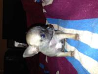 I have two adult chihuahuas for sale male and female.