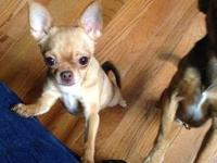 Hi, I have 2 chihuahua for adoption,about 1 and half