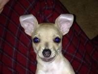 I have a 10 week old Chihuahua she's a very sweet girl